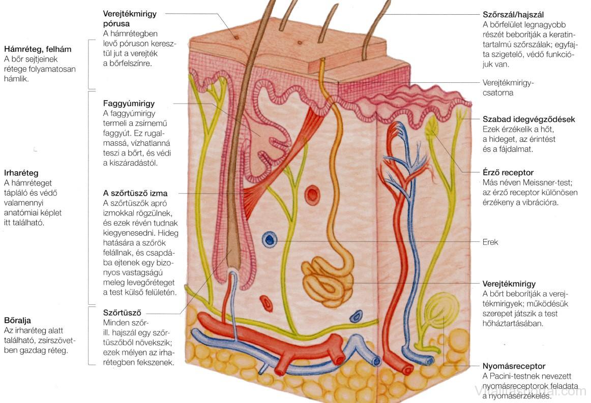 Bőr felépítése