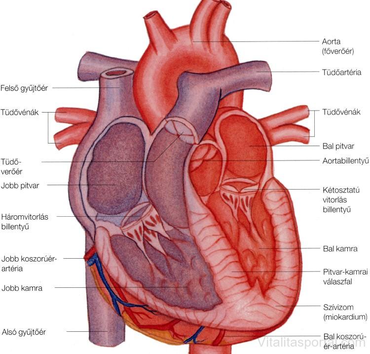 Szív felépítése